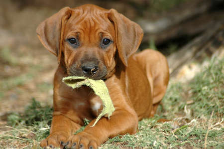 A beautiful little African Rhodesian Ridgeback hound puppy dog head portrait with cute expression in the face playing with a piece of material and watching in the garden outdoors in South Africa Standard-Bild