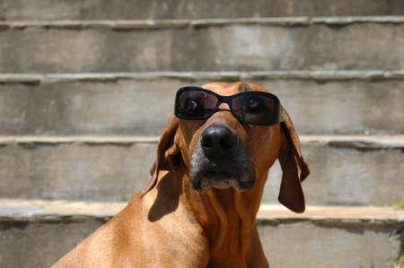 A beautiful and funny Rhodesian Ridgeback hound dog head portrait with sunglasses watching other dogs and sitting on steps in the summer heat during holidays
