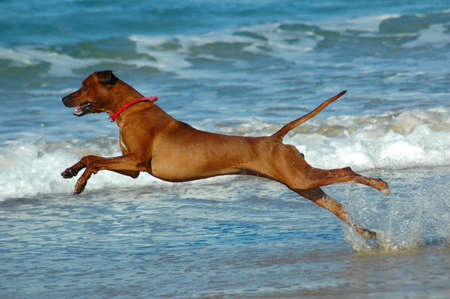 A beautiful active African male Rhodesian Ridgeback hound dog with happy expression in the face playing wild by jumping and running fast in the sea on the beach in South Africa in summertime  Standard-Bild