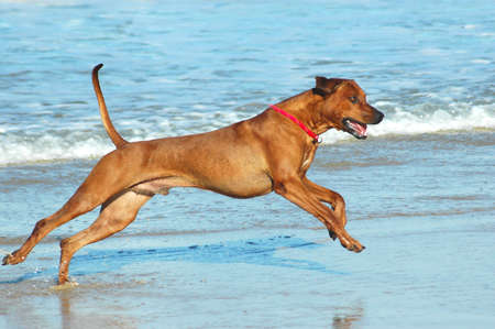 A beautiful active African male Rhodesian Ridgeback hound dog with happy expression in the face playing wild by jumping and running fast in the sea on the beach in South Africa in summertime  Stock Photo