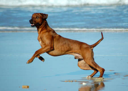 A beautiful active African male Rhodesian Ridgeback hound dog with happy expression in the face playing wild by jumping and running fast in the sea on the beach in South Africa in summertime