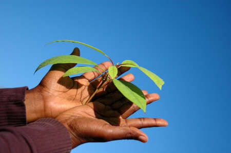 Two young black hands of an African American woman holding the green leaves of a bad growing Avocado plant in front of blue sky background outdoors in spring
