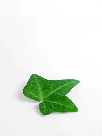 the green leaf on the white background Stock Photo - 2833798