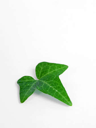 the green leaf on the white background Stock Photo - 2833797