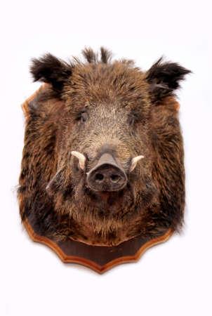 boar: stuffed wild pig head on white Stock Photo