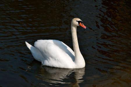 whote: White swan swimming o the lake