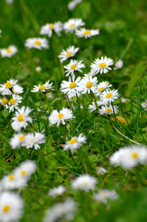 Daisys on the grass