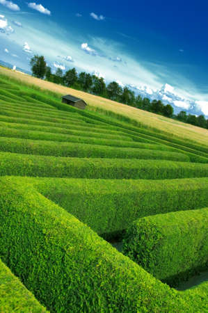 hedge plant:  labyrinth done from the hedgerow Stock Photo