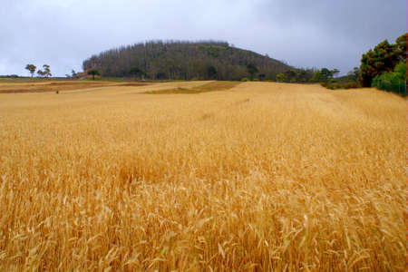 cropland: Rare wheat field of Tenerife, Canary Islands, with mountain at the background