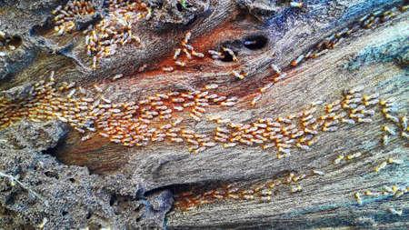 termites nest in a wooden block