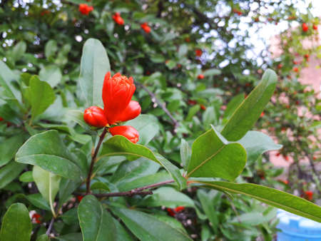 Pomegranate flower; It is of red color and this is initial state to born a pomegranate- a tasty fruit with full of juice. 免版税图像