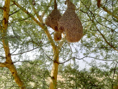 Closeup of hanging nests of weaver bird made with dry grass in a field in India