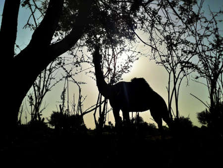 A camel feeding or eating leaves of green trees black evening time shot.