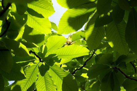 vernal: Magnolia leaves. Nature background.