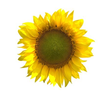 sunflower isolated: Girasole isolato su sfondo bianco Archivio Fotografico