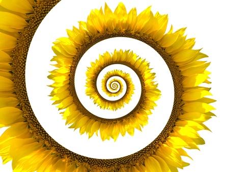 Sunflower spiral on white background Stock Photo