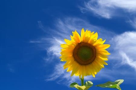 a sunflower: Sunflower against blue sky  Stock Photo