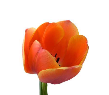 Tulip bud close-up. Isolated on white background.