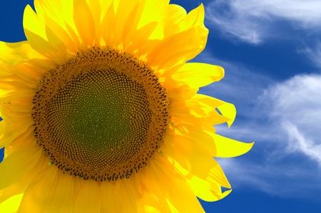 colorido: Detalle de girasol amarillo contra el cielo azul Foto de archivo