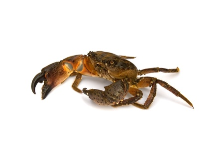 alive: Crab on white background