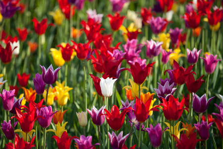 Multicolor tulips background Stock Photo - 9642918