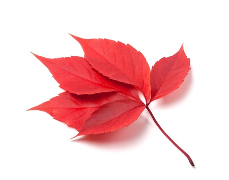 fallen fruit: Red autumn virginia creeper leaves isolated on white background. Close-up view