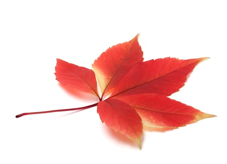 fallen fruit: Autumn virginia creeper leaves isolated on white background