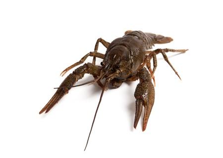Crawfish isolated on white background photo
