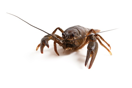 Crawfish on white background photo