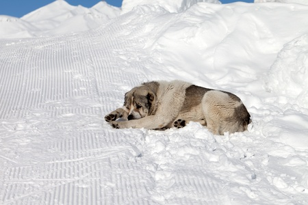 Dog sleeping on snow photo