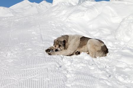 Dog sleeping on snow photo