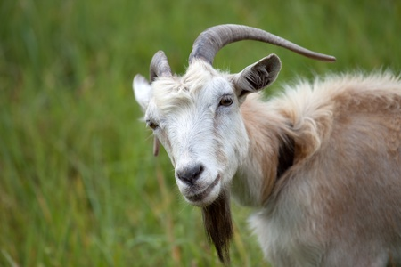 Portrait of goat photo