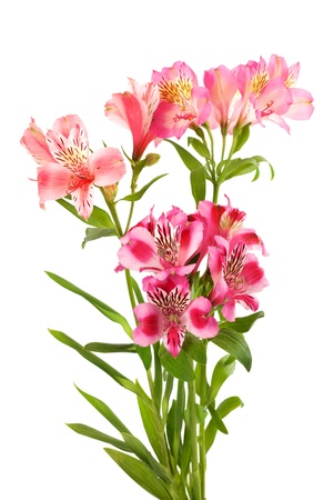 Bouquet of lilies isolated on white background photo