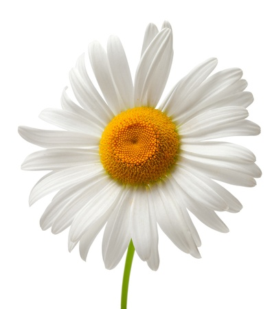 Chamomile isolated on white background  Close-up view Stock Photo
