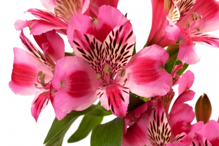 Lilies  alstroemeria  isolated on white background  Close-up view  photo