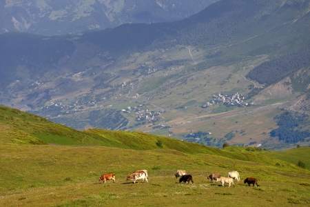 Grazing cow on green meadow in Caucasus Mountains. Georgia, region Svaneti. photo