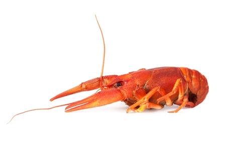 One boiled crawfish on white background photo