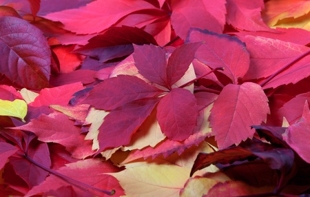 Background of red autumn leaves photo