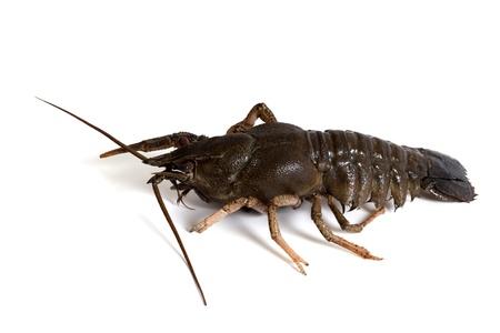 Crawfish on white background photo