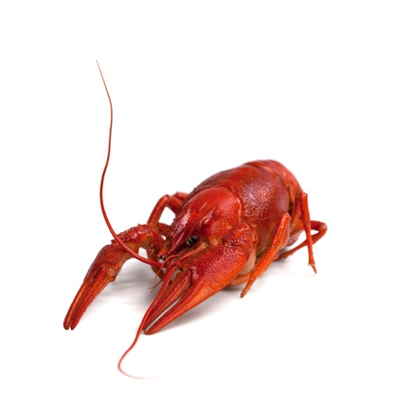 Boiled crawfish on white background  Close-up view  photo