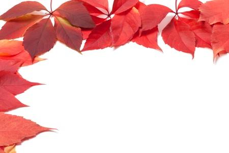 autum: Autumn leaves frame on white  Virginia creeper leaves  Stock Photo