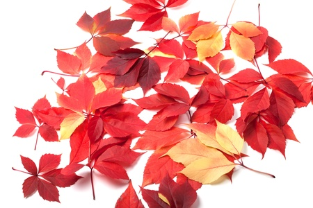 Scattered autumn leaves on white background  Virginia creeper leaves  photo