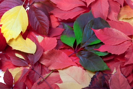 Background of multicolor autumn leaves photo