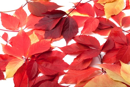 Scattered red autumn leaves. Virginia creeper leaves. photo