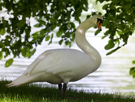 Mute swan on glade under the tree  Close-up view  photo