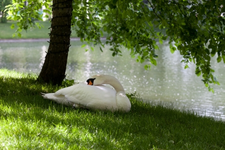 Mute swan on grass under the tree photo