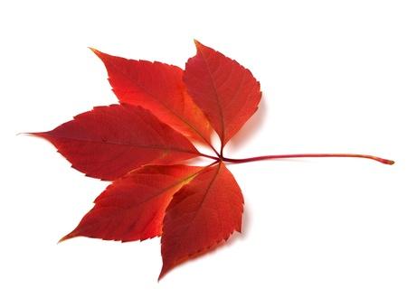 Autumn virginia creeper leaf on white background photo