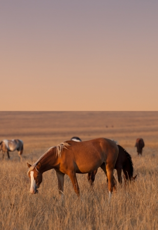mustang horse: Horses grazing in evening pasture Stock Photo