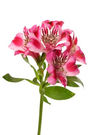 Lilies bud  alstroemeria  isolated on white background photo