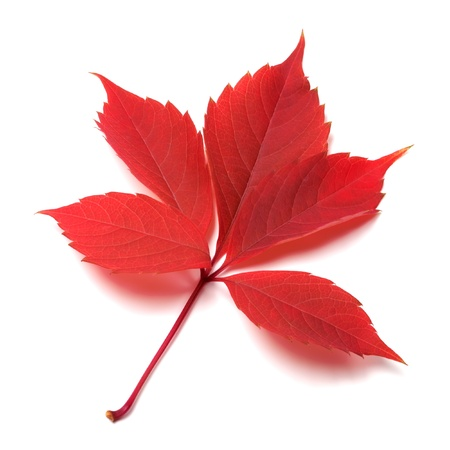 Red autumn leaf on white background  Close-up view